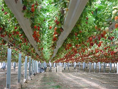 Бизнес-идея: выращивание клубники