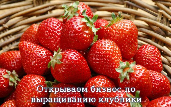 Открываем бизнес по выращиванию клубники