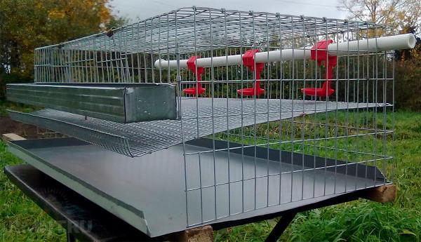Выращивание перепелов в домашних условиях как бизнес