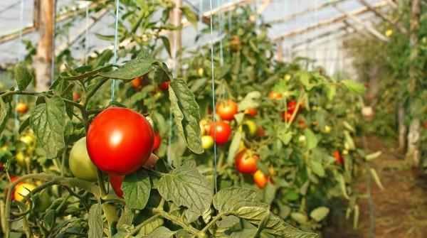 Выращивание помидоров в теплицах: особенности бизнеса